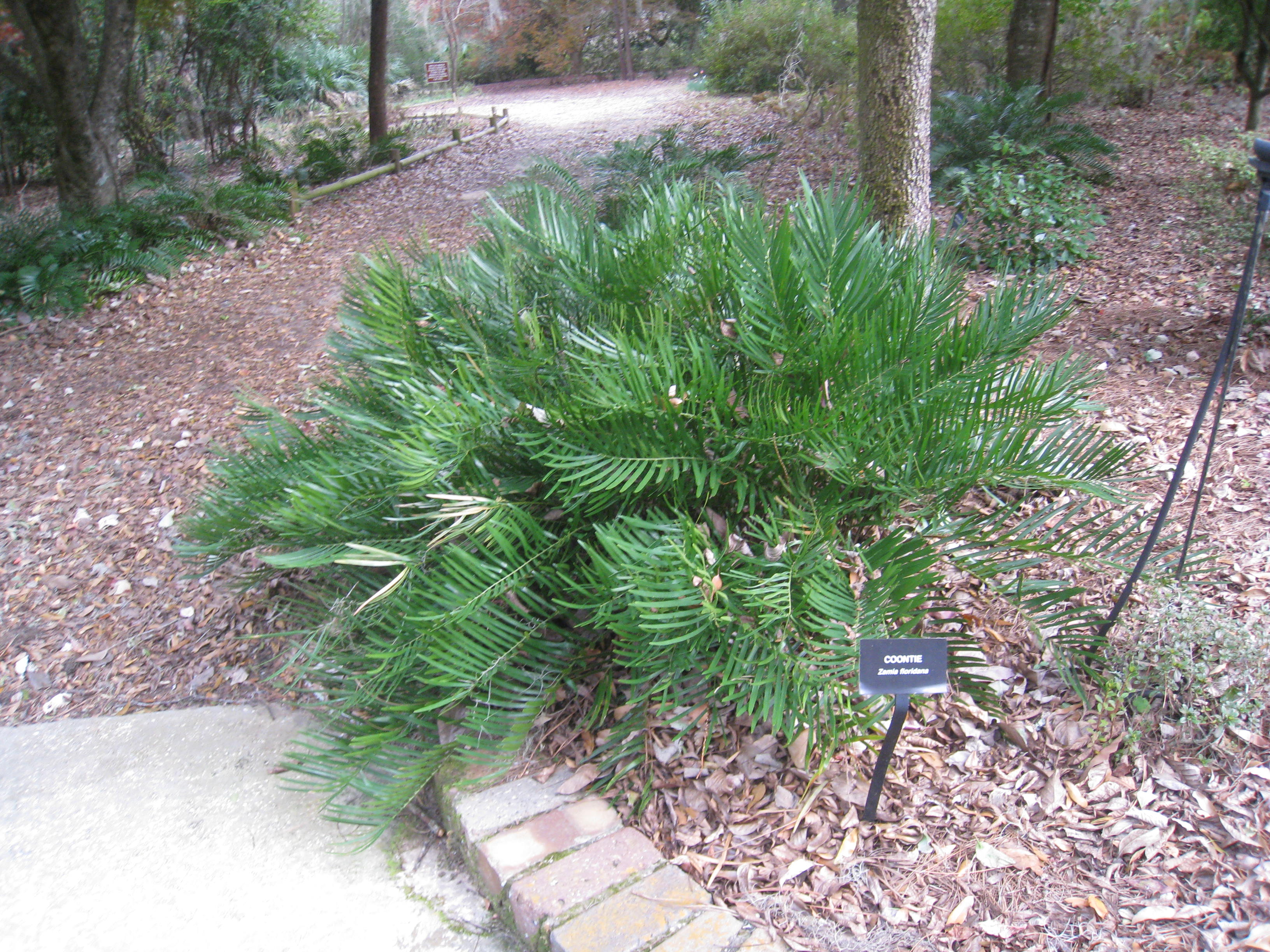 Plant Spotlight Coontie Visit Natural North Florida