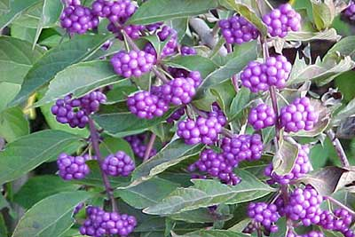 Beauty Berry Not Just A Weed Insecticide Jams And