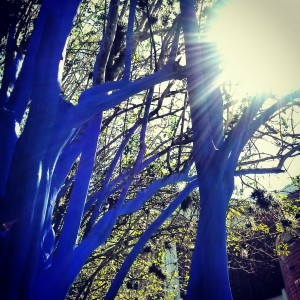 Blue Trees at the UF Campus