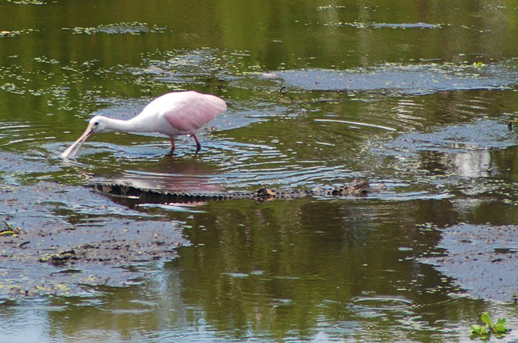 Roseate spoonbill and baby alligator on Paynes Prairie