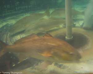 80-specially tagged redfish are just waiting to be tagged at the FWC/FWRI hatchery!