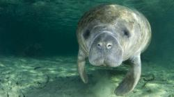 Florida manatees:  cute?  Yes.  Cuddly? No!