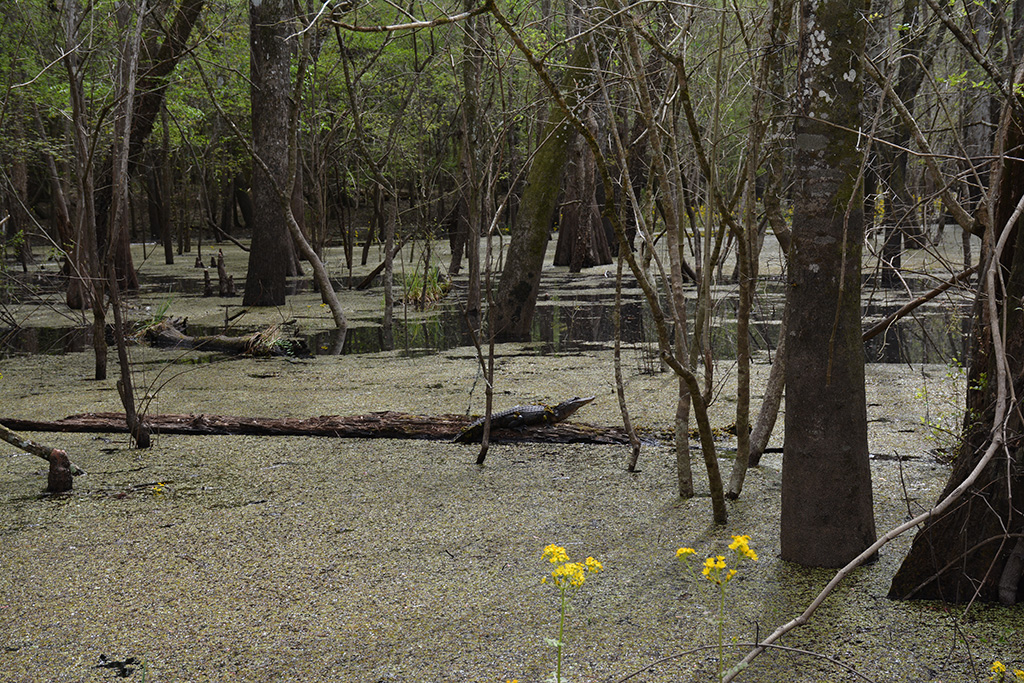 An alligator in the cypress swamp