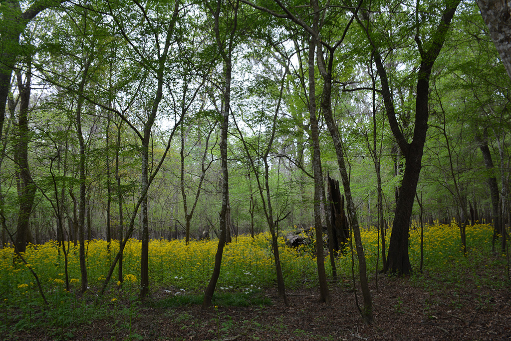 Spring color seeps through the floodplain forest