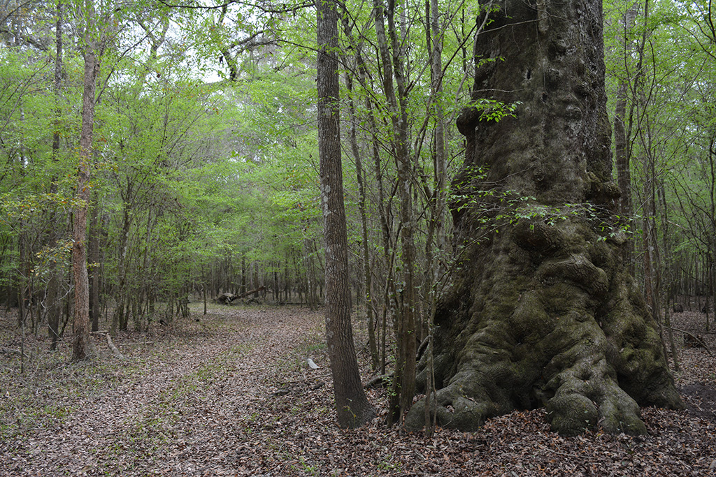 One of the ancient oaks along a forest road at Log Landing