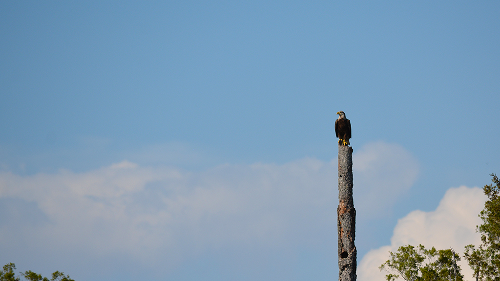 Bald eagle perched on a dead cabbage palm