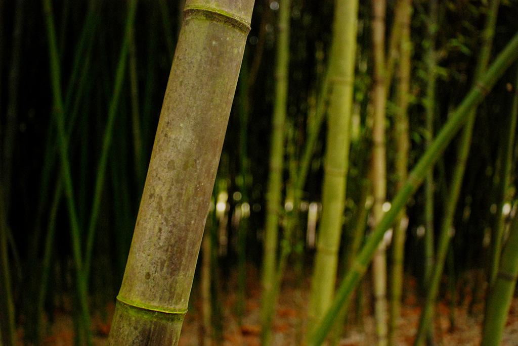 Walking through the Bamboo Forest at Kanapaha