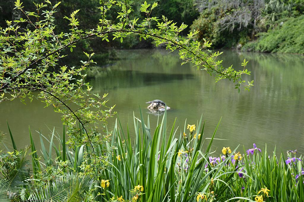 Alligator framed by the Oriental Gardens