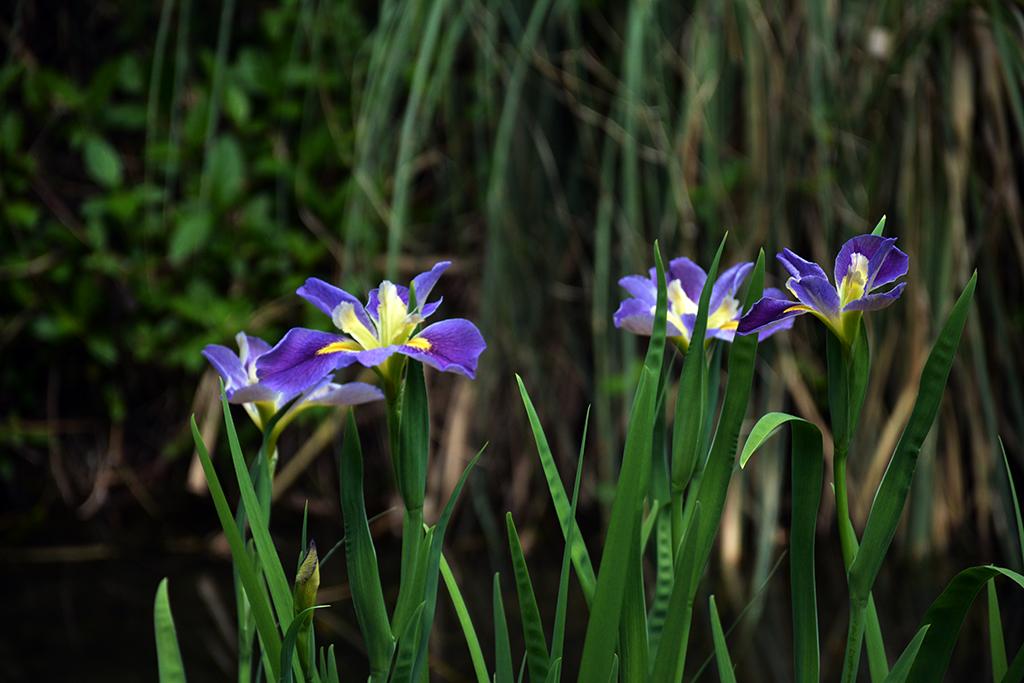 Blue flag iris raise their nodding heads to the sun