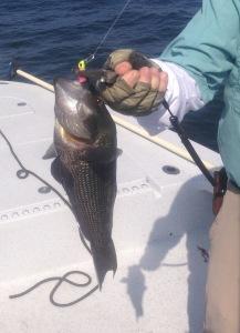 Light jig heads tipped with Berkley's Gulp! bait is a good choice for black sea bass.