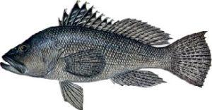Centropristis striata, black sea bass