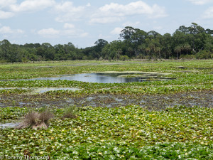 ...as well as ponds teeming with life, including alligators and local birds