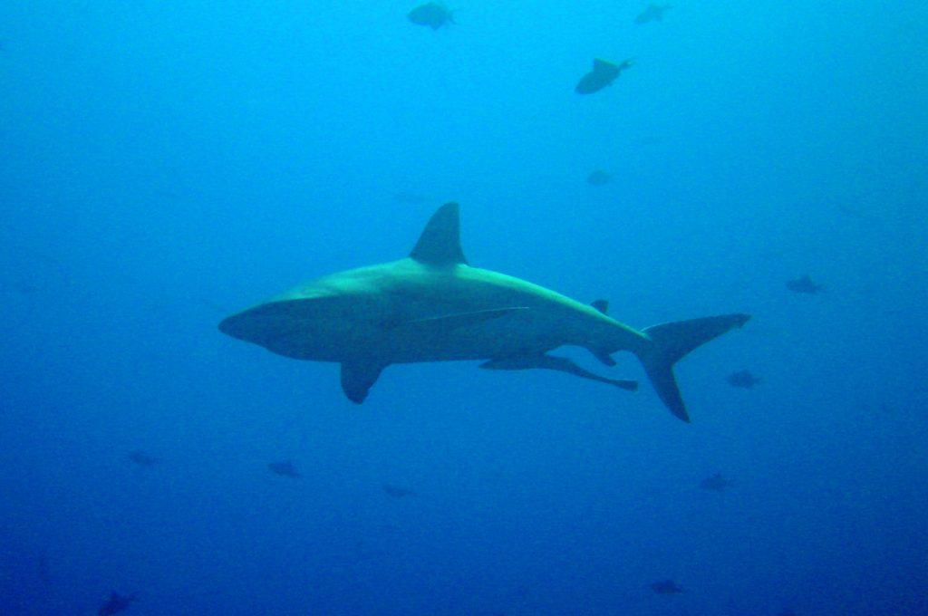 Cruising shark - Photo by NOAA