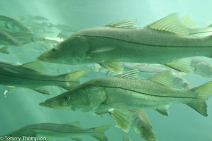 Warmer winters mean the habitat for snook has moved north, into Levy and Dixie counties.