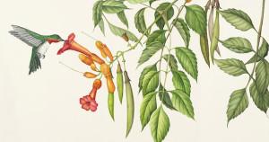 Campsis radicans watercolor