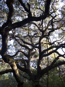 The oaks at near the parking lot may be hundreds of years old!