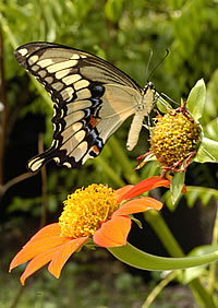 Florida Museum of Natural History's Butterfly Fest