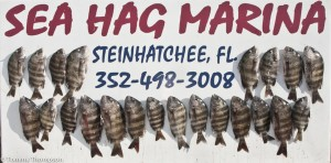 Other Big Bend ports, like Steinhatchee, offer good sheepshead fishing.