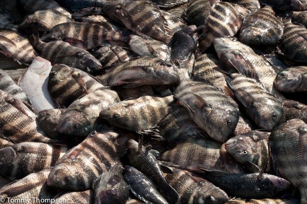 Don't take more sheepshead than you can eat that night---or want to clean!