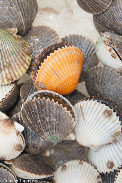 Fresh scallops shells