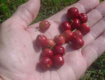 11th Annual Mayhaw Berry Harvest Festival