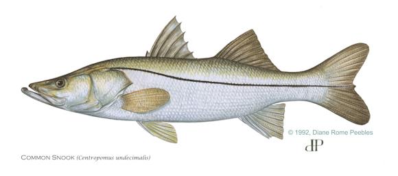 sportfish alert snook continue northward migration into big bend