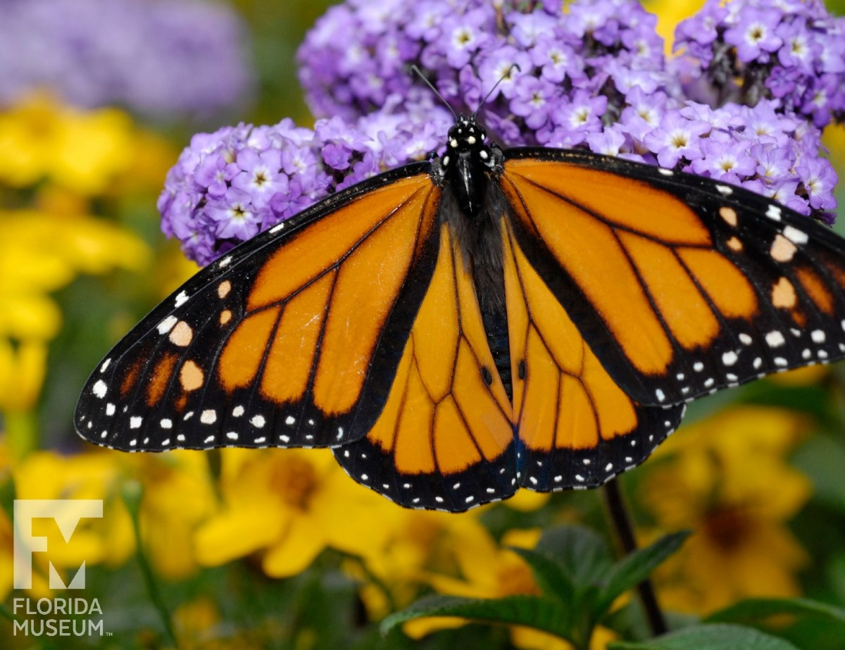 ButterflyFest and Plant Sale