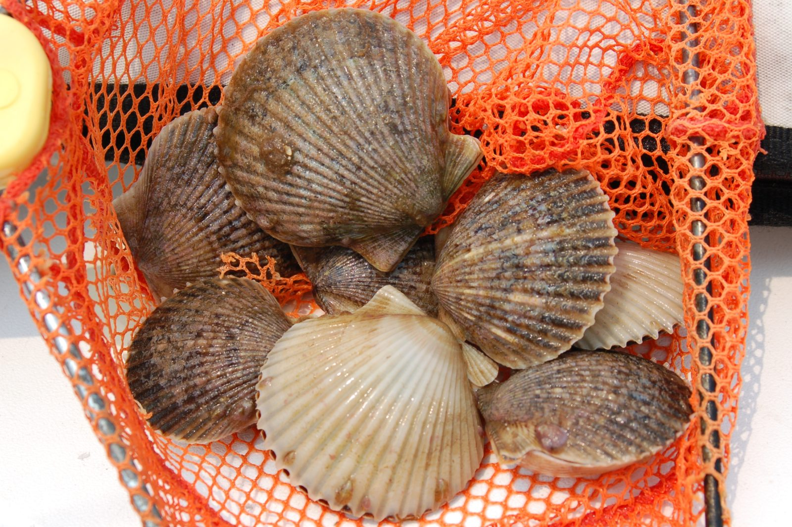 Treasure Hunting (for Bay Scallops!) in Taylor County, Florida