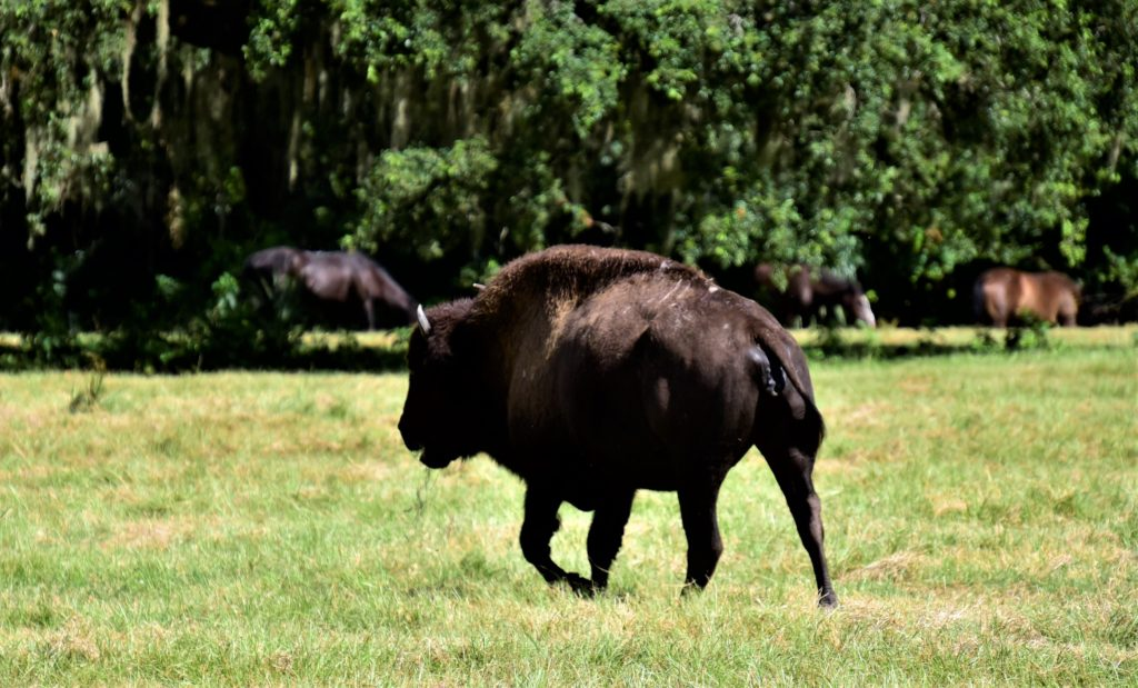 Wild Bison, and wild horses in the background