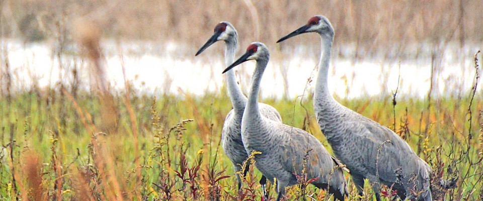 Cranes on Paynes Prairie in Alachua County, FL